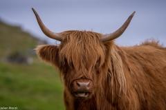 Faroese cow