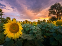 Sunflowers suset